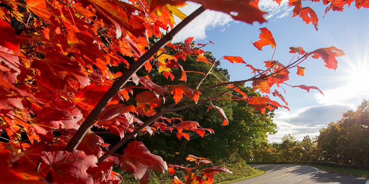 Red maple tree foliage leaves