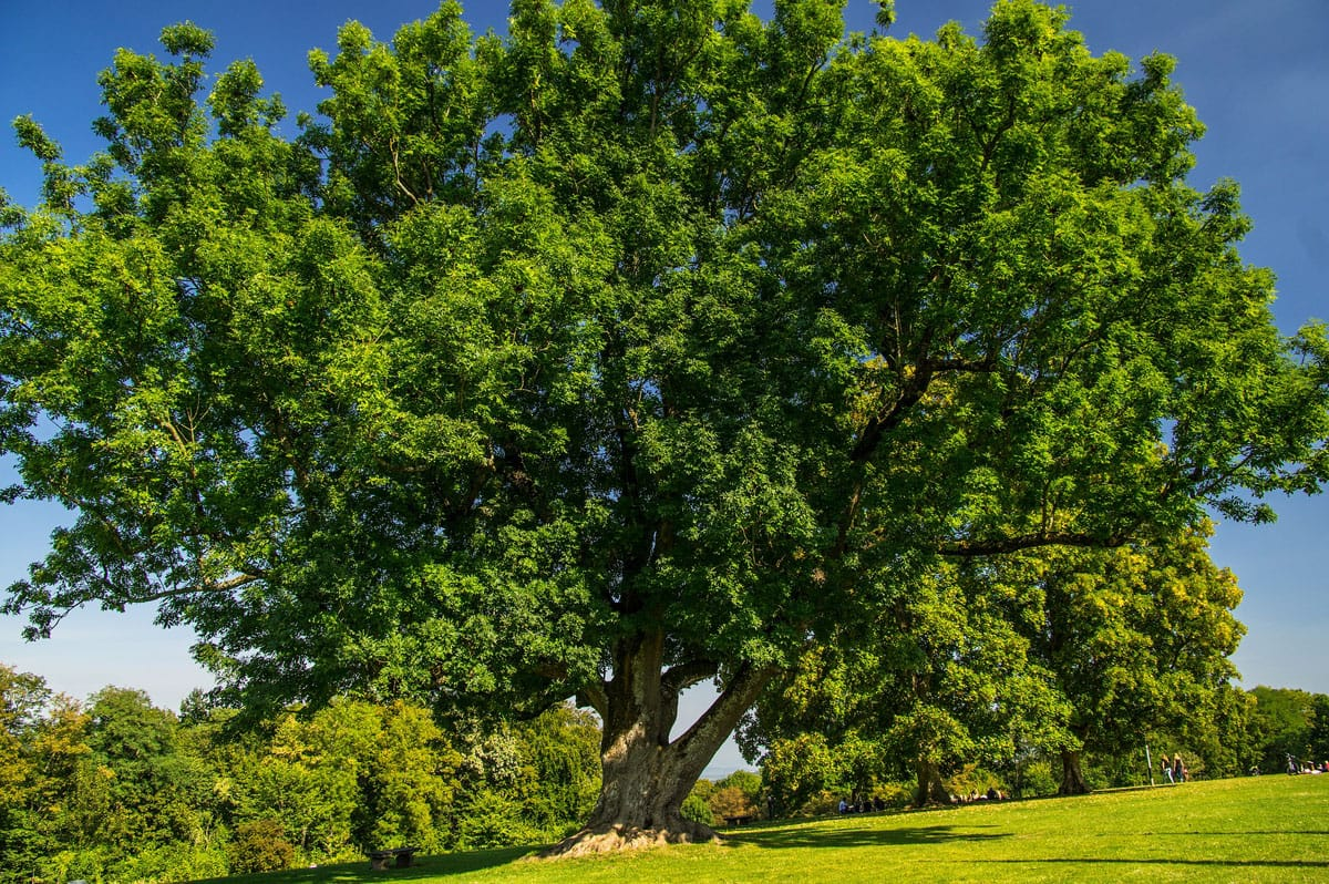 A large ash tree grows in a park setting