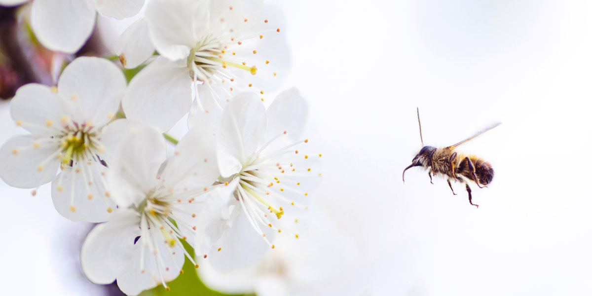 A bee pollinates apple blossoms