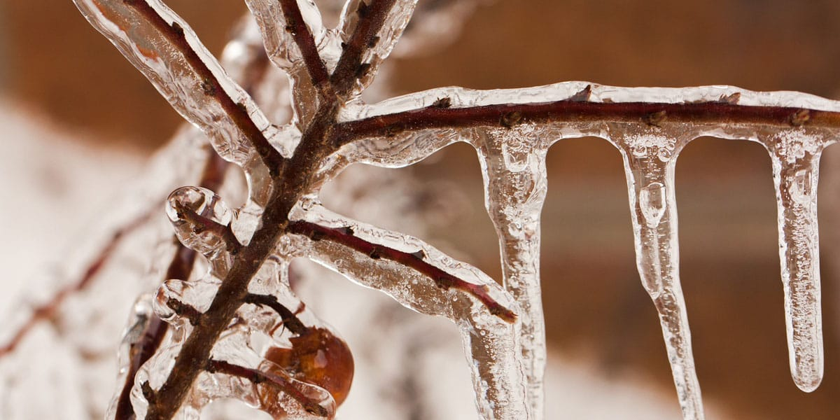 ice covers the branches and berry of a shrub
