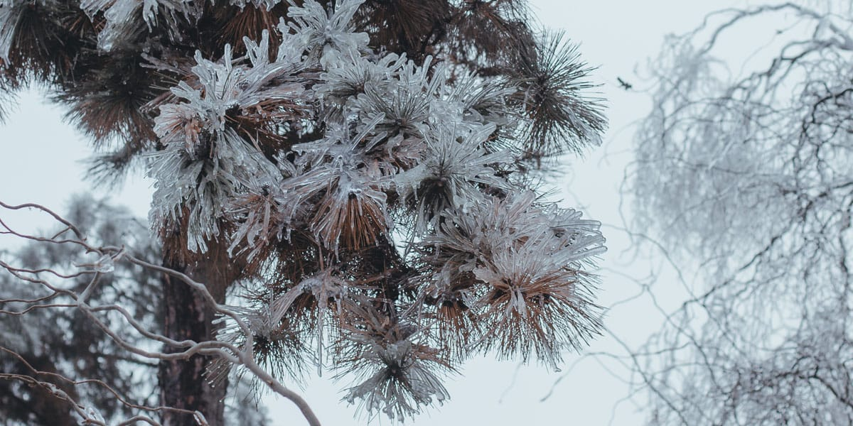 evergreen tree needles covered in ice