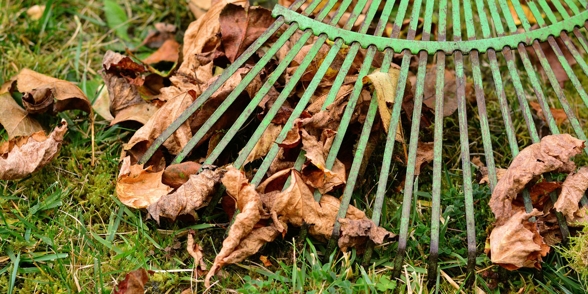 raking up infected leaves and removing them from a yard in the Morristown area as part of winter tree care best practices