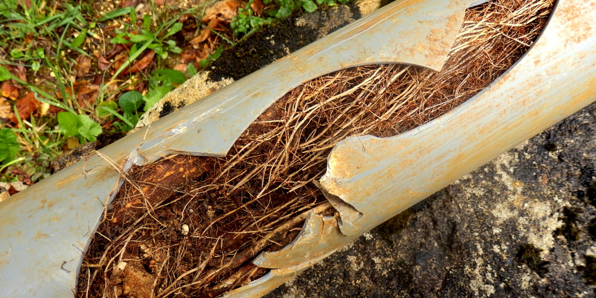 roots in pipe