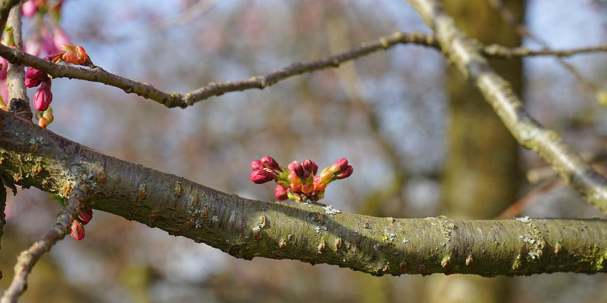 spring buds on tree