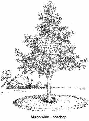 Diagram showing proper mulching around a tree.