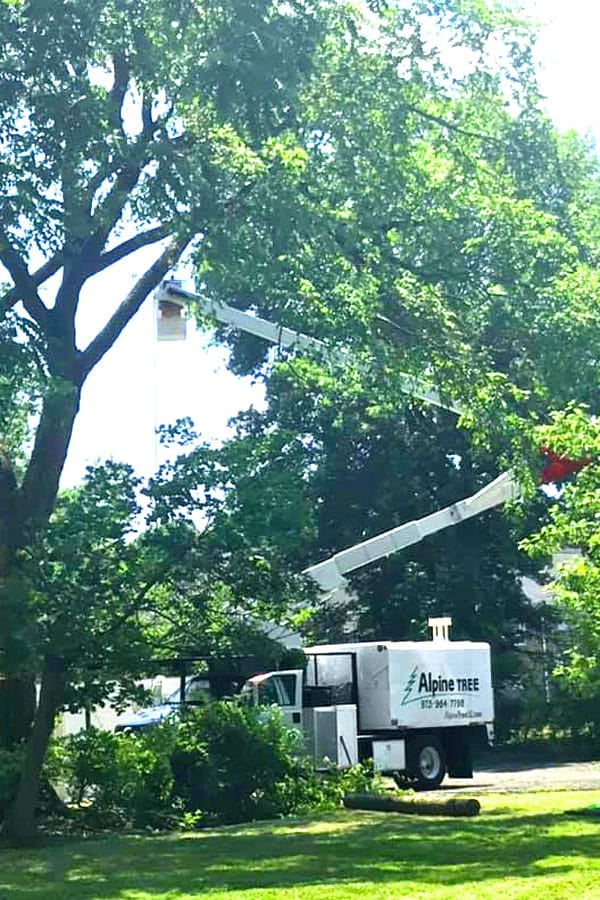 pruning a large tree from a bucket truck
