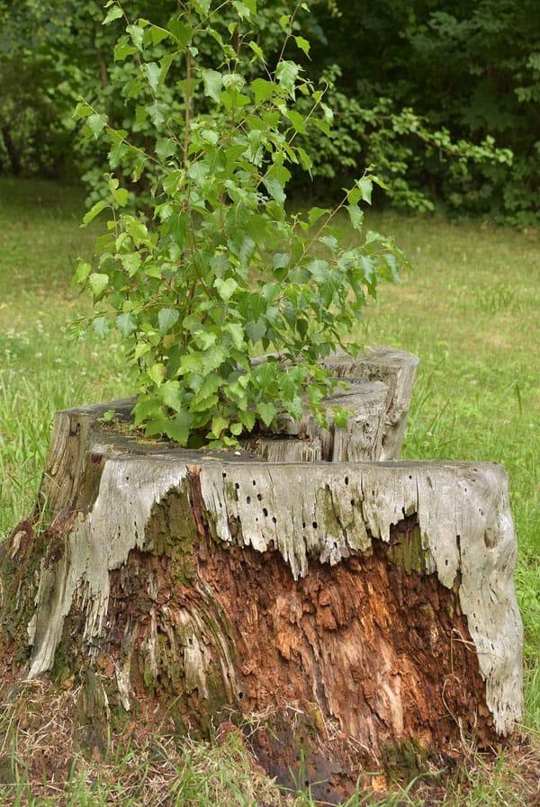 decaying tree stump