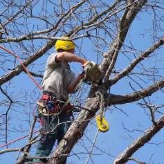Санитарная обрезка деревьев альпинистами