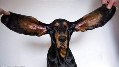 """صورة بأذنين طولهما 33 سنتيمترا كلب يدخل موسوعة """"غينيس"""""""