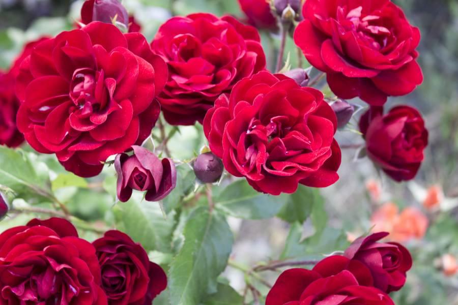 Erva Medicinal Rosa vermelha