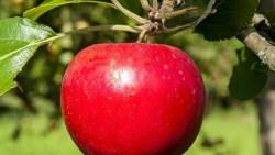 تفسير حلم التفاح في المنام للعزباء والمتزوجة والحامل