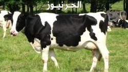 تفسير حلم البقرة في المنام للمتزوجة والعزباء والحامل
