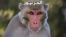 تفسير حلم القرد في المنام للعزباء والمتزوجة والحامل