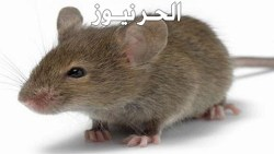 تفسير حلم الفأر في المنام للعزباء والمتزوجة والحامل
