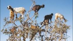 تفسير رؤية حلم الماعز في المنام
