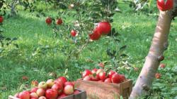 تفسير حلم شجرة التفاح في المنام