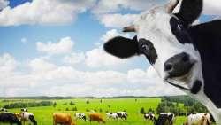 تفسير حلم قطيع البقر في المنام