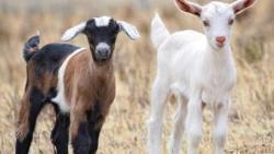 تفسير حلم الماعز الصغير في المنام