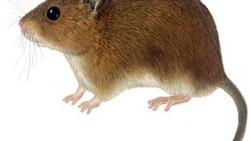 تفسير حلم الفأر الأسود في المنام