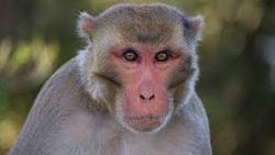 تفسير حلم أكل لحم القرد في المنام