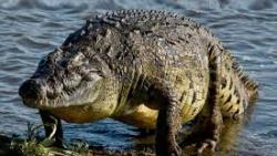 تفسير حلم قتل التمساح في المنام