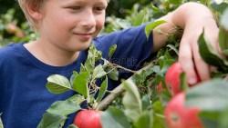 تفسير حلم قطف التفاح في المنام