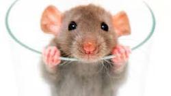 تفسير حلم الخوف من الفأر في المنام