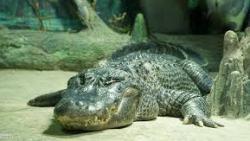 تفسير رؤية التمساح الملون في المنام