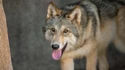 تفسير حلم الذئب الأسود في المنام