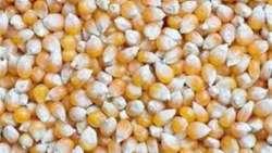تفسير حلم زراعة الذرة في المنام