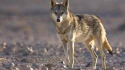 تفسير حلم ضرب الذئب في المنام