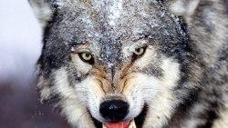 تفسير حلم الذئب الرمادي في المنام