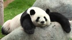 تفسير حلم دب الباندا في المنام