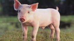 تفسير حلم رؤية الخنزير مدبوح في المنام