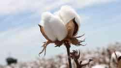 تفسير حلم زراعة القطن في المنام