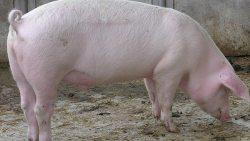 تفسير حلم رؤية أكل لحم الخنزير في المنام