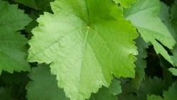 تفسير حلم ورق العنب الأخضر في المنام