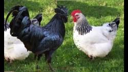 تفسير رؤية موت الدجاج في المنام
