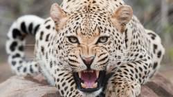 تفسير حلم الفهد الأسود يطاردني