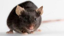 تفسير رؤية الفأر الصغير في المنام للمتزوجة