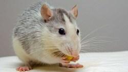 تفسير حلم رؤية الفئران والقوارض في المنام للعزباء والمتزوجة