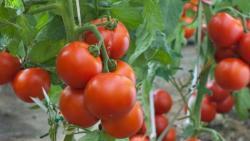 تفسير حلم زرع الطماطم  في المنام