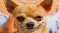 صفات كلب تشيهتزو