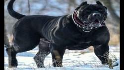 صفات كلب فان كورسو Cane Corso