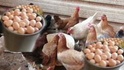 تفسير حلم جمع بيض الدجاج في المنام