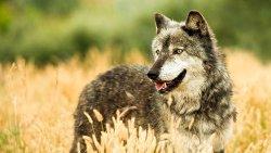 تفسير حلم ذئب متزوج في المنام