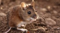 لرؤية الخوف من الفئران في المنام