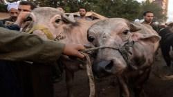 تفسير رؤية ذبح البقر والجلد في حلم الرجل