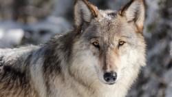 تفسير حلم رؤية الذئب للحامل