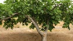 تفسير حلم أكل التين من الشجرة